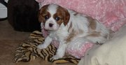 Adorable Cavalier King Charles Spaniel puppies for sale