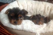 Tea Cup Toy Yorkshire Terrier Puppies For Sale
